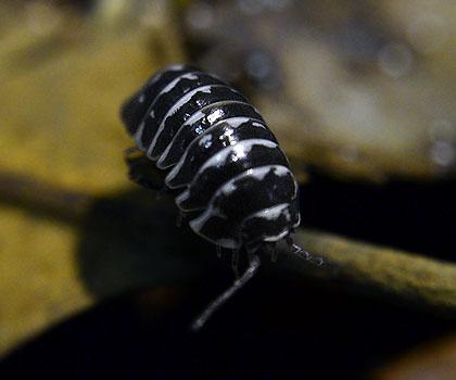 Armadillidium maculatum