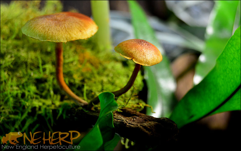 Vivarium Mushrooms