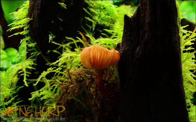 Bright Orange Vivarium Mushroom