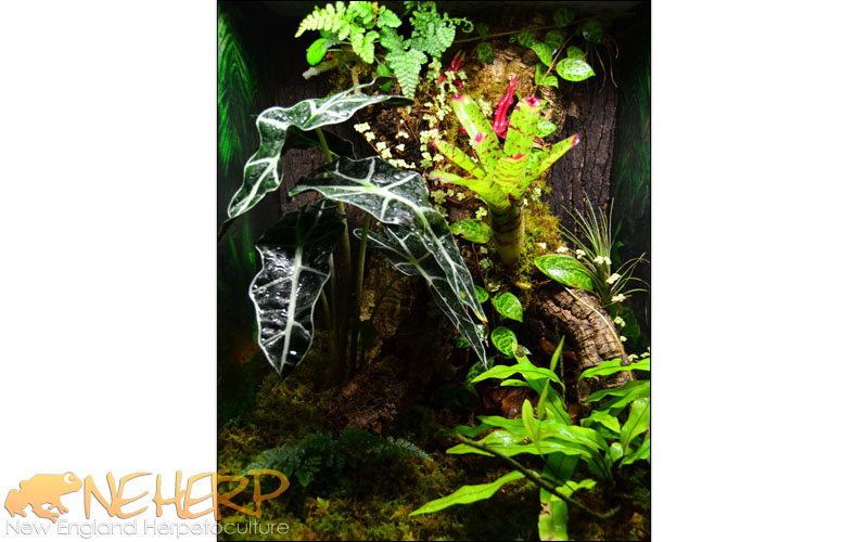 Coqui Tree Frog Vivarium Easy Background
