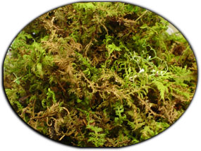 Live Moss For Tadpole Containers