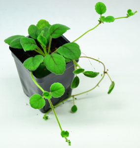 New england herpetoculture llc other plants for Lucernari di hawaii llc