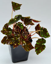 Begonia Little Darling