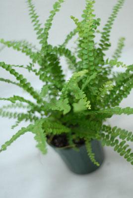 Neherp terrarium suitable ferns for Lemon button