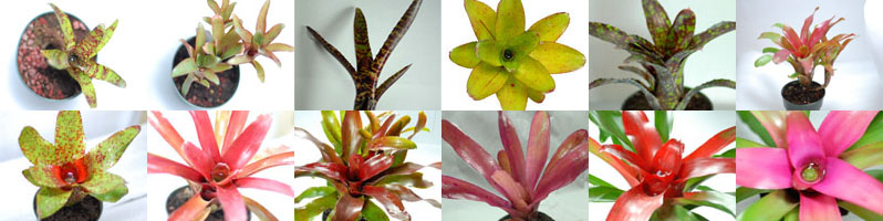 Neoregelia Assortment