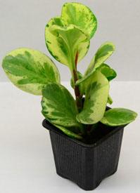 Live Peperomia Plants For Terrariums Amp Vivariums Neherp