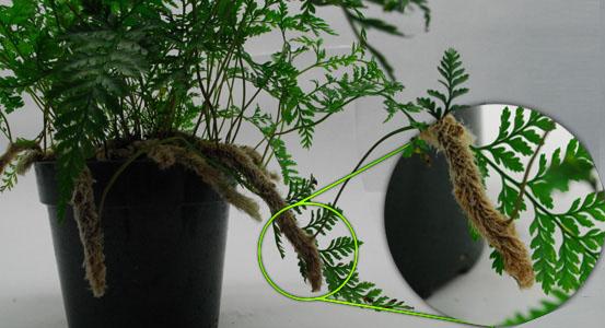 NEHERP - Terrarium Suitable Ferns