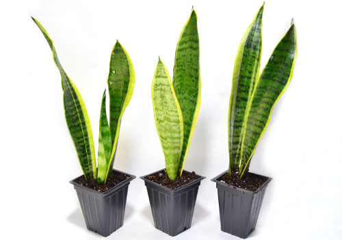 Live Sansevieria Snake Plants For Terrariums Vivariums Neherp