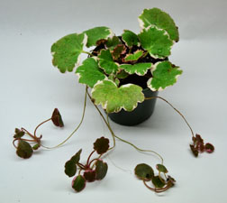 Variegated Strawberry Begonia