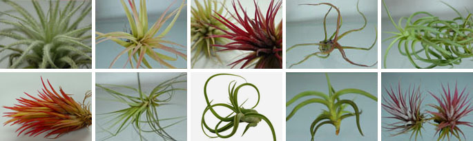 Tillandsia Pack For Terrariums