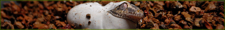 Crested & Gargoyle Gecko Breeding