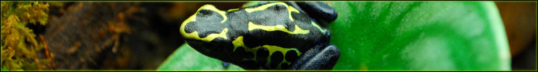 Dendrobates tinctorius care & breeding article
