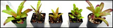 Bromeliad Packs For Terrariums