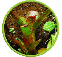 Grow Bromeliads In Vivarium