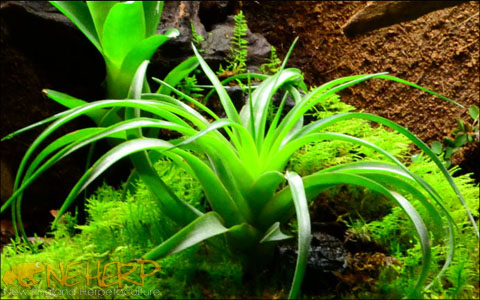 Best Bromeliads For Bioactive Terrariums and Vivariums