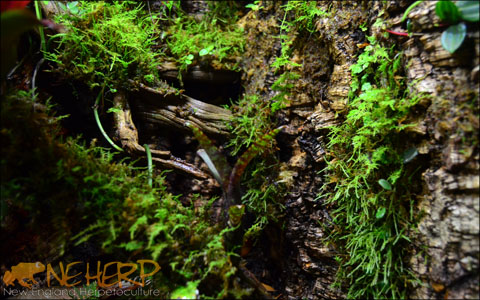 Live Moss For Terrariums Vivariums Neherp Your One Stop