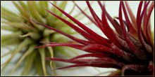 Tillandsia Air Plants For Terrariums & Vivariums
