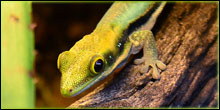 Arboreal Gecko Small