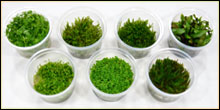 Tissue Cultured Live Vivarium Plants